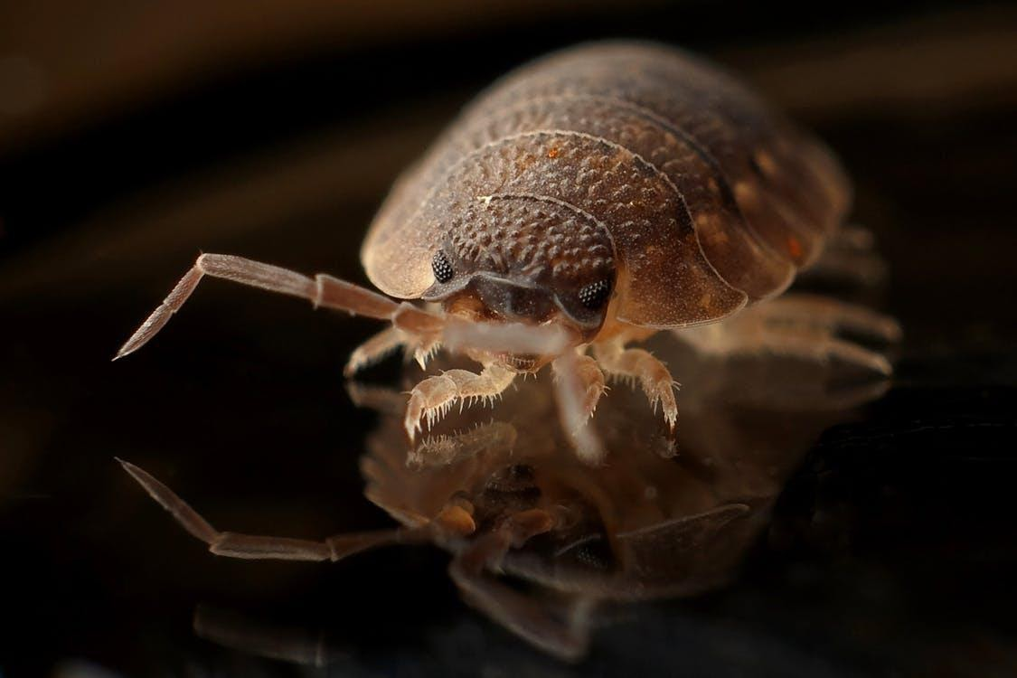 essential oils against bed bugs