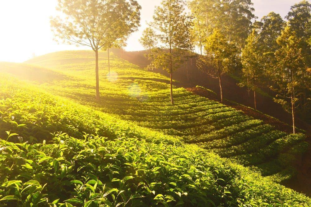 tea tree products