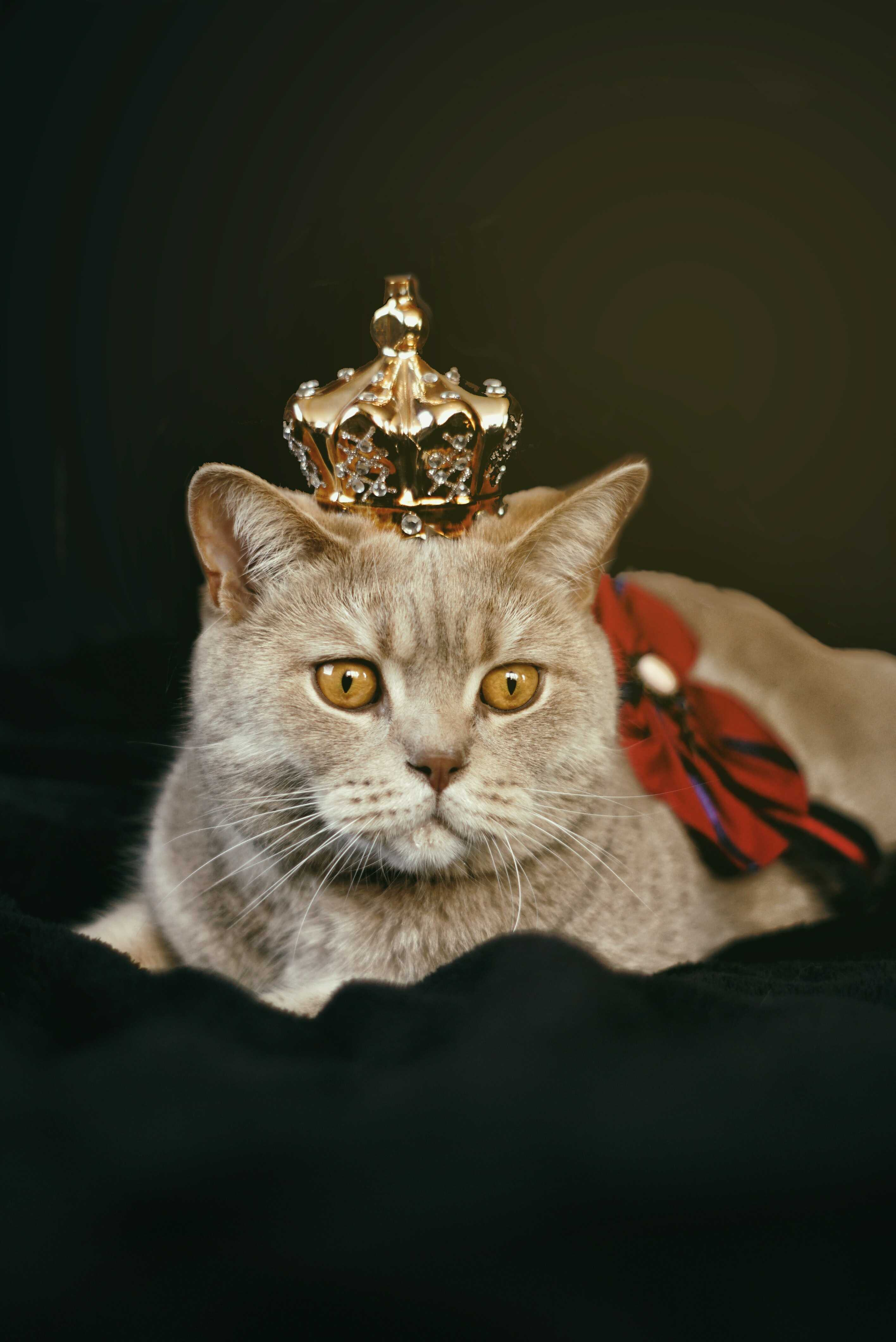 a cat like a queen