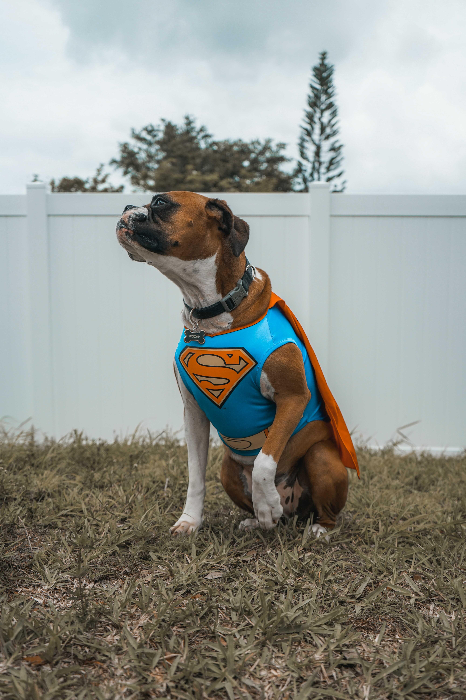 a pet wearing as super man